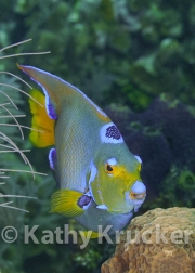 -062Honduras_queen_angelfish_Black_Hills