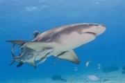 Caribbean Reef shark with ramoras