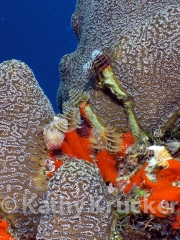 -044tube_worms_-_utila