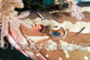 Cleaner shrimp-wrasse on grouper