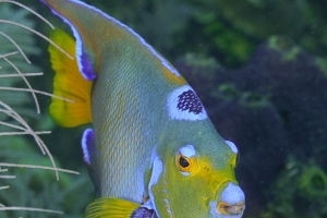 -011Honduras_queen_angelfish_Black_Hills