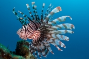 Invasive red lionfish - Honduras