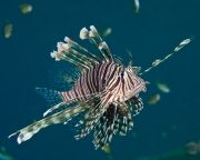 Indigenous red lionfish - Southeat Sulawsi, Indonesia