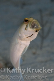 -002Jawfish_with_eggs-kk-03