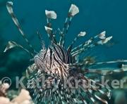 -004Lionfish-kk-01