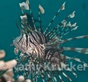 -005Lionfish-kk-02