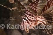 -008Lionfish-kk-05