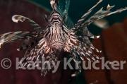 -010Lionfish-kk-07