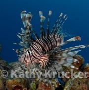 -013Lionfish-kk-12
