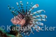 -014Lionfish-kk-11