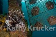 -030Krucker-12-02-07-101808-1-lion_fish_at_pearl_farm_4x6