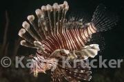 -007Lionfish-kk-04