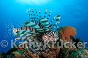 -015Lionfish-kk-13