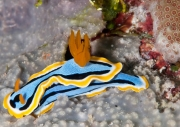 Chromodoris annae – the two rhinophores are visible on the top of head (left)