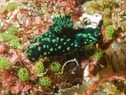 Nembrotha kubaryana – Raja Ampat, Indonesia