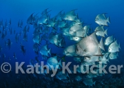 -001Honduras_Cocos_seamount_spadefish