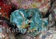 False stonefish - Scorpaenopsis diabolus