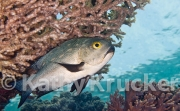 Trout sweetlips - Plectorhinchus pictus
