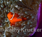 -009clown_in_large_anemone