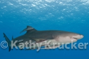 Remoras with lemmon shark