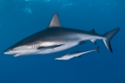 Caribbean Reef shark w. ramora