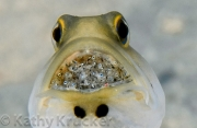 Yellowhead Jawfish with Eggs