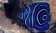 Anilao_juvenile Emperor angelfish