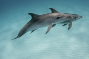 Bahamas_Dolphins-Kathy Krucker
